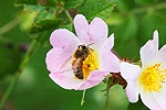 Honey Bee on a Dog Rose