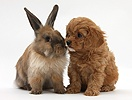 Cavapoo pup and Lionhead-cross rabbit