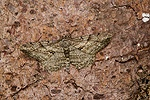 Pale Oak Beauty Moth