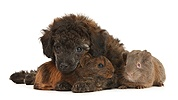 Red merle Toy Poodle pup, and baby Guinea pigs