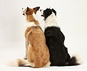 Border Collies back view