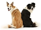 Border Collies looking over their shoulders