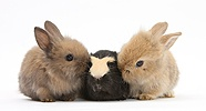Yellow-and-black Guinea pig and baby Sandy Lop rabbits