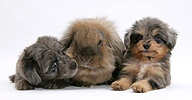 Sheltie x Poodle pups with Lionhead x Lop rabbit