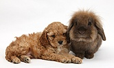 Sleepy Golden Cockapoo pup and Lionhead-cross rabbit