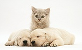 Kitten and sleepy Golden Retriever pups