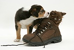 Border Collie pup and chocolate kitten in a shoe