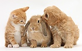 Ginger kitten with Cavapoo pup and Lop rabbit