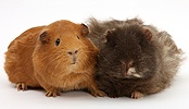 Red and shaggy Guinea pigs