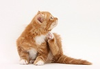 Ginger kitten, scratching himself