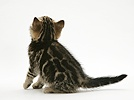 Tabby kitten, back view