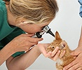 Vet using an otoscope to examine a ginger kitten's ear