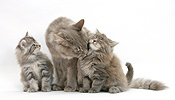 Maine Coon cat and kittens