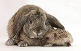 Baby Hedgehog and agouti Lop rabbit