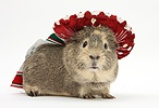 Guinea pig wearing a Mexican hat