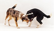 Border Collies exchanging angry snarls