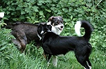 Border Collies squaring up aggressively