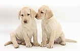 Yellow Labrador Retriever puppies, 9 weeks old