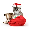 Maine Coon kitten and Chihuahua puppy in Santa hats