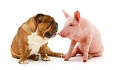 Bulldog and middle white piglet