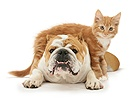 Bulldog and ginger kitten