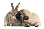Fawn Pug pup, 8 weeks old, and young agouti rabbit