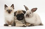Fawn Pug pup, 8 weeks old, with kitten and rabbit