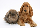Red English Cocker Spaniel with a rabbit