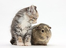 Guinea pig and Maine Coon-cross kitten