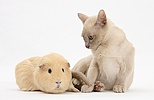 Young Burmese cat and Guinea pig
