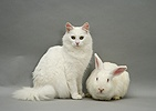White rabbit and white cat