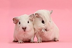Two white baby Guinea pigs on pink background