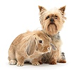 Yorkie and Lionhead Lop rabbit