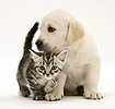 Yellow Goldidor Retriever pup with silver tabby kitten