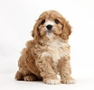 Cavapoo pup, 6 weeks old
