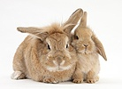 Sandy Lionhead-cross rabbit and baby