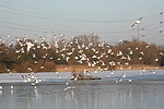 Black-headed gulls flying over a frozen lake