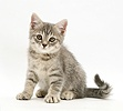 Grey tabby kitten sitting