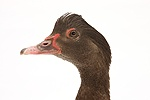 Chocolate Muscovy Duck