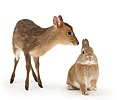 Muntjac deer fawn and Sandy rabbit