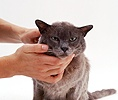 Elderly Blue Burmese cat