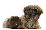 Brown Shih-tzu and shaggy Guinea pig