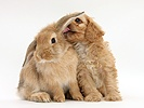 Cavapoo pup licking the ear of Sandy Lop rabbit
