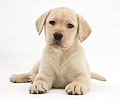 Yellow Labrador Retriever puppy, 8 weeks old