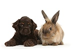 American Cocker Spaniel pup and Lionhead-cross rabbit