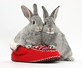 Young silver rabbits in a knitted slipper