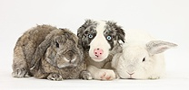 Border Collie pup and white rabbits