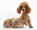 Red toy Poodle dog and sandy Lop rabbit
