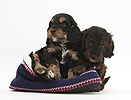 Cockapoo pups in a knitted slipper