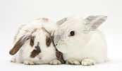 White and brown-and-white rabbits